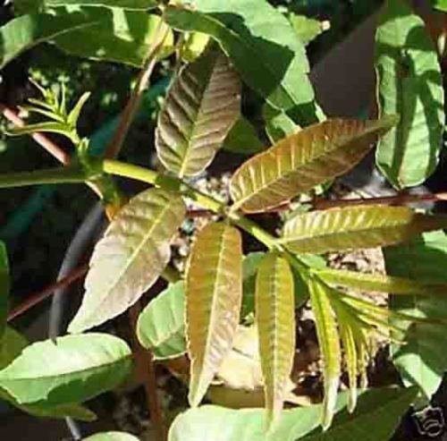 """Rare Toona sinensis """" 香椿 """" Plant """"Tree"""" (SP) 8~18 inches"""