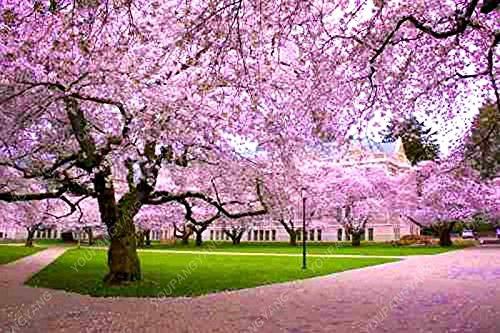 10PCS rares fleurs de bonsaïs graines de fleurs de cerisier sakura arbre graines de fleurs de cerisier bonsaïs maison & jardin Violet