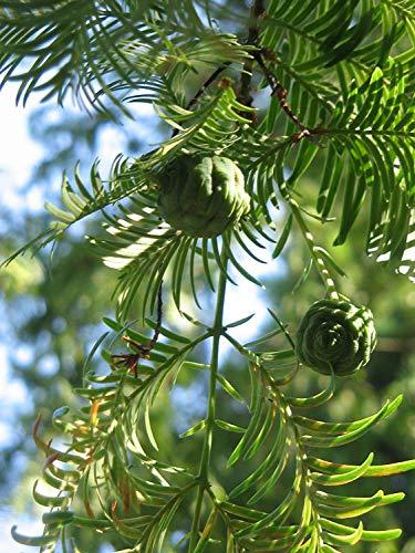 Urweltmammutbaum Metasequoia glyptostroboides Pflanze 25-30cm Mammutbaum Rarität