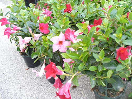 3 Plantas Dipladenia (trepadora) varios colores en maceta de 14 cm