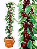 bag ciliegio bonsai 20pcs / semi di frutta dolce Sylvia Upright Cherry autofertile semi nano albero pianta in vaso giardino di casa