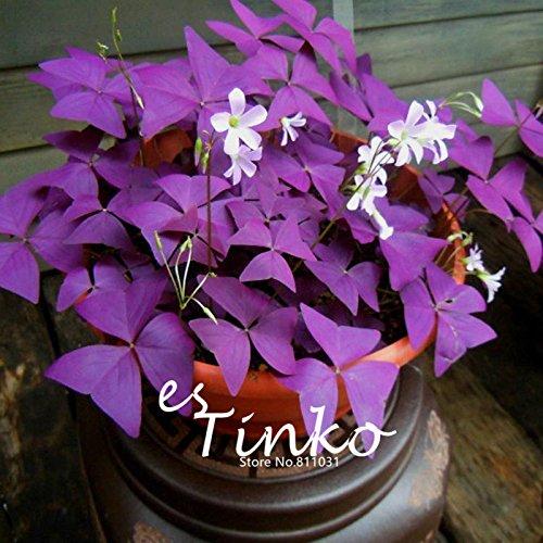 1 Pack Profesional Oxalis Triangularis Semillas Semillas púrpura del trébol Planta Mejor follaje de Plantas del jardín de flores Bonsai