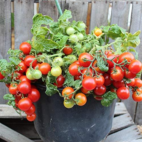 Vilma Tomatensamen für ca. 20 Pflanzen - ideal für Balkonkästen, kompakt und ertragreich
