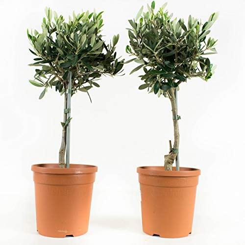 Zimmerpflanzen von Botanicly – 2 × Olivenbaum – Höhe: 50 cm – Olea europeae