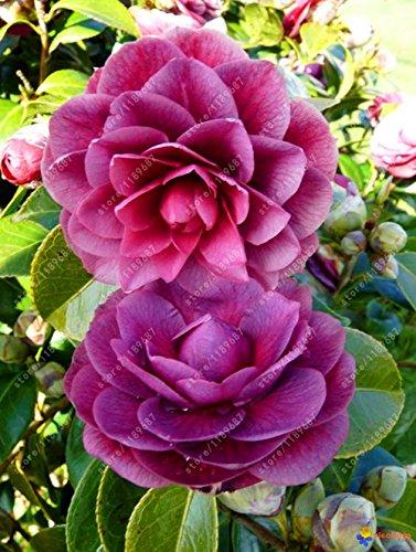 100% des graines Real camélia commun, (Camellia japonica), graines de fleurs bonsaï plantes en pot extérieur de bricolage pour jardin maison 5 pièces/sac 12