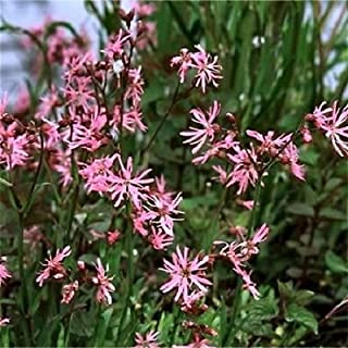100 RAGGED ROBIN Pink Purplish Lychnis Flos Cuculi Flower Seeds