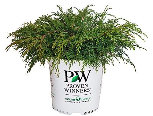 Proven Winners - Microbiota decussata Celtic Pride (Russian Cypress) Evergreen, , #2 - Size Container