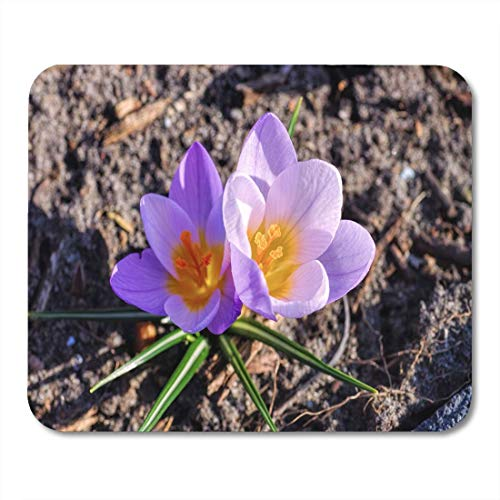 Mauspad Green Bloom The Crocus Flower...