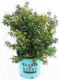 Bushel and Berry - Vaccinium cor. Blueberry Glaze (Blueberry)...