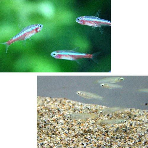 (熱帯魚)カージナルテトラ【ブリード】(約1.5-2cm)(15匹)+ アフリカンランプアイ(約2cm)(10匹)[生体]