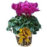 パステル ベートーベン さかもと園芸 達人 シクラメン 花鉢植え ギフト プレゼント 贈答品 クリスマス お歳暮