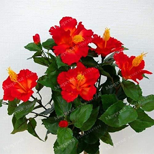 HONIC 200 PCS Riesen Hibiskus-Blume Bonsai Chinese Günstige Blumen Hibiscus Bonsai Kinder einfach für Hausgarten wachsen: 13