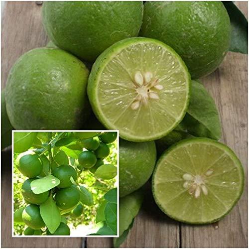 PLAT FIRM GRAINES DE GERMINATION: Citrus aurantiifolia 100 graines, graines de citron vert, arbre fruitier tropical de Thaïlande