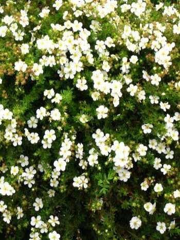 weiß blühender Fünffingerstrauch Potentilla Abbotswoth 30 cm hoch im 3 Liter Pflanzcontainer