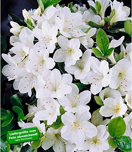 BALDUR-Garten Durchblühende Azalee \'Bloom Champion\' weiß 1 Pflanze Rhododendron winterhart
