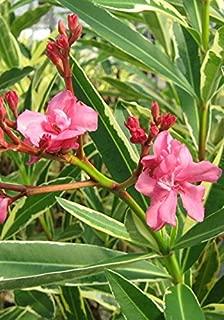 Best variegated oleander plant Reviews