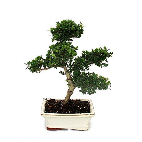 Exotenherz - Bonsai Ilex crenata - Japanische Stechpalme ca. 6 Jahre