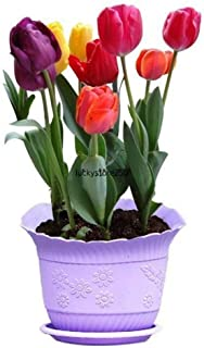 ASTONISH: 50Pcs: Rare Rainbow Tulip Bulbos de flores Semillas Perennes Primavera Bloom Home Garden Decor