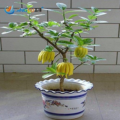 50 PC / Beutel, Bergamotte Samen, Familie Topfpflanzen, Gold Buddha Hand, reinigen Luft, Samen Gelbgold Buddha-Hand