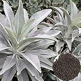 sytaun 100pcs salvia bianca semi di erbe balcone bonsai home office giardino arredamento facile da piantare, pianta ornamentale 200pcs semi di salvia bianchi