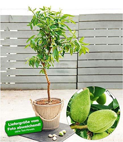 BALDUR-Garten Süß-Mandel Nut Me® Almond, 1 Pflanze Mandelbaum