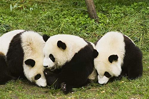 Puzzle 1000 Piezas 3 Pandas Gigantes Obra De Arte De Juego De Adulto Rompecabezas Para Navidad Rompecabezas De Piso Juego De Rompecabezas Y Juego Familiar