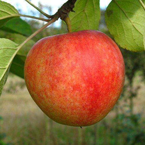 Apfelbaum Cox Orange LH 130-150 cm, Äpfel gelb, Busch, schwachwachsend, im Topf, Obstbaum winterhart, Malus domestica
