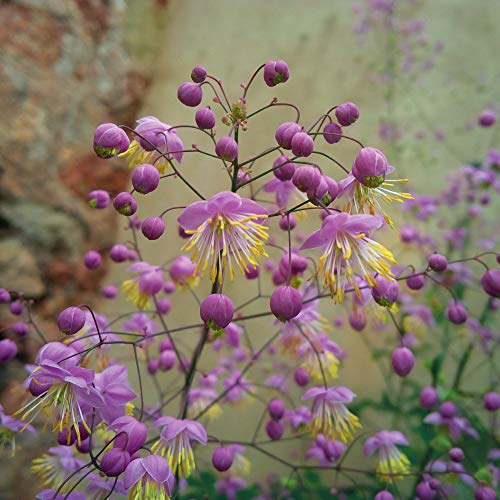 Thalictrum rochebrauneanum Meadow Rue 9cm
