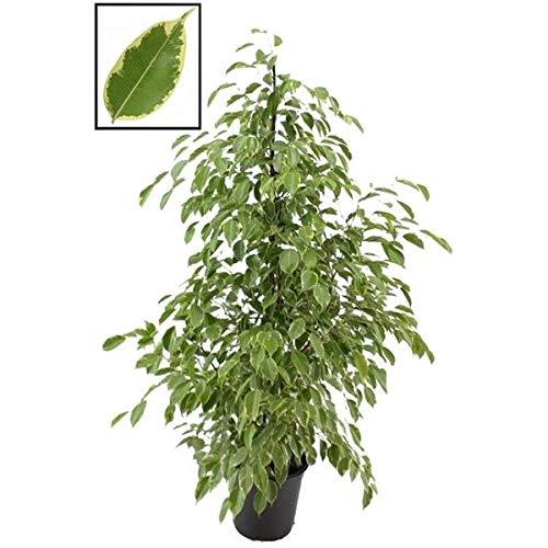 Birkenfeige - Ficus Benjamina Golden King 140-150 cm Zimmerpflanze