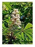 Rosskastanie Aesculus hippocastanum Pflanze 15-20cm Weiße Rosskastanie Kastanie