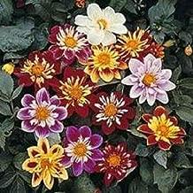 50 Seeds Dandy Mix Dahlia Flower #MRB01
