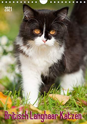 Britisch Langhaar Katzen (Wandkalender 2021 DIN A4 hoch)