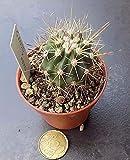 Echinocactus grusonii x ferocactus Vendiamo semi non solo la pianta. Il prezzo include funzioni customes Seeds è il pacchetto completo. Trasporto che a livello internazionale