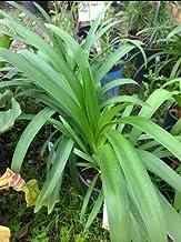 Agapanthus Dark Purple, One Gallon Plant