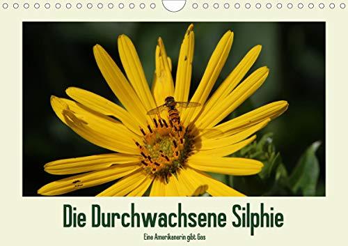 Die Durchwachsene Silphie - Eine Amerikanerin gibt Gas/CH-Version (Wandkalender 2021 DIN A4 quer)