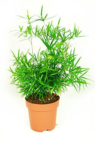 Asparagus falcatus, im 17er Topf, Zierspargel, ca. 50 cm hoch