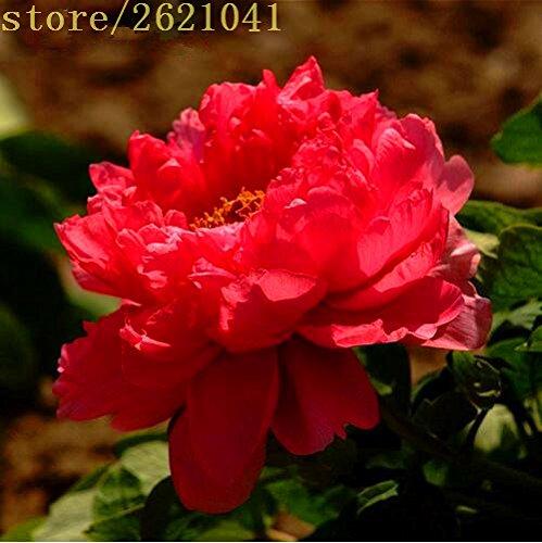 10 pcs/sac graines de pivoines Terrasse Cour Jardin Paeonia Suffruticosa Graines de fleurs vivaces plantes en pot pour le jardin de la maison 3