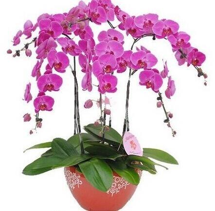 10pcs/lot papillon graines d'orchidées, fleurs d'intérieur bonsaï quatre saisons, Phalaenopsis Orchidées jardin à la maison 20