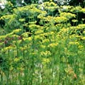 Outsidepride Dill