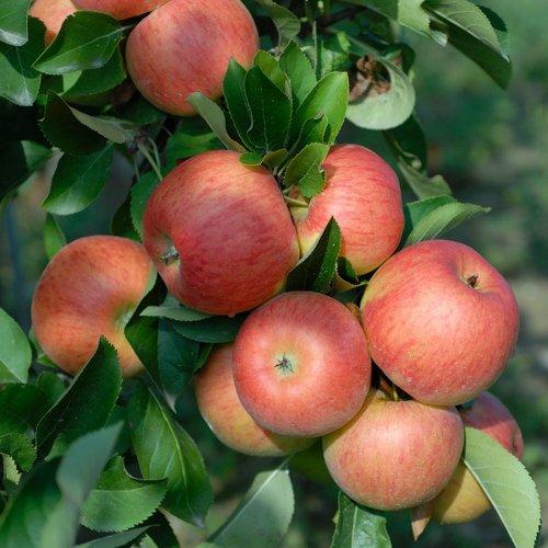 Apfel Topaz, Busch, Malus domestica