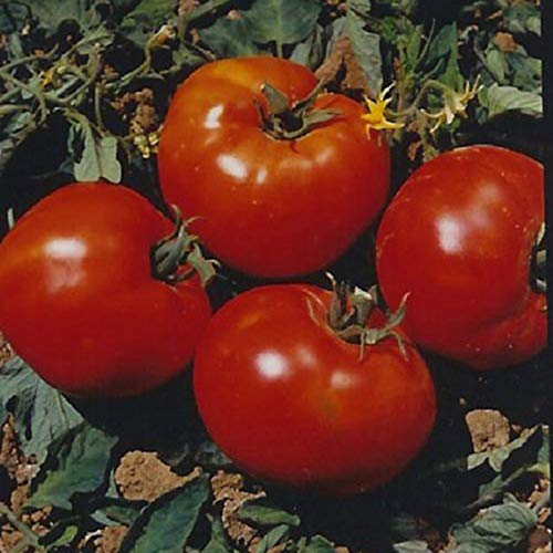 Abe Lincoln Heirloom Tomato Seeds- 50+