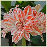 Amaryllis Bulbs-Rare green flowers, wonderful decorations and air-purifying plants, romantic floral gifts for Valentine's Day-1,1 Zwiebeln