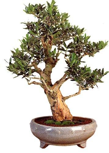 TROPICA - Olivo (Olea europea) - 20 semillas- Bonsai
