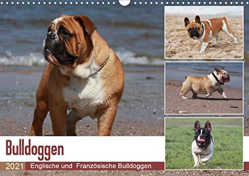 Bulldoggen - Englische und Französische Bulldoggen (Wandkalender 2021 DIN A3 quer)