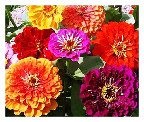 Premier Seeds Direct XE WBEU 5LVG Zinnien Calivornia Giant Mischung feinste Samen (Packung mit 200)
