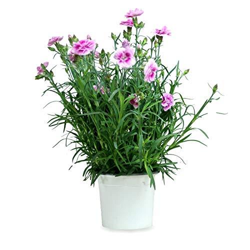Clavel Chino Clavelina Dianthus Chinensis 25cm Planta Natural en Maceta de 13cm Colores Surtidos