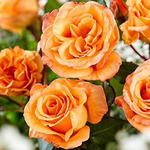 Rosa'Doris Tysterman' | Orangene Rose |...