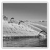 Impresionantes pegatinas cuadradas (juego de 2) 10 cm BW – Pingüinos saltando Iceberg Pingüino Divertidos calcomanías para portátiles, tabletas, equipaje, reserva de chatarras, neveras, regalo genial #43084