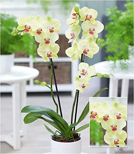 """BALDUR-Garten Phalaenopsis Orchidee, 2 Triebe,""""Gelb"""", 1 Pflanze Zimmerorchidee Schmetterlingsorchidee Nachtfalterorchidee Zimmerpflanze"""