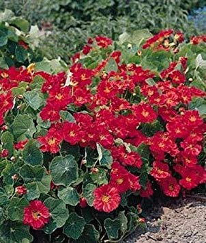 Kapuzinerkresse Whirlybird Series Cherry Rose Annual Seeds